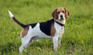 Порода собак Бигль: описание, характеристика, характер, фото, видео.