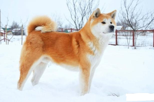 Порода собак Акита-Ину Миниатюрные акита