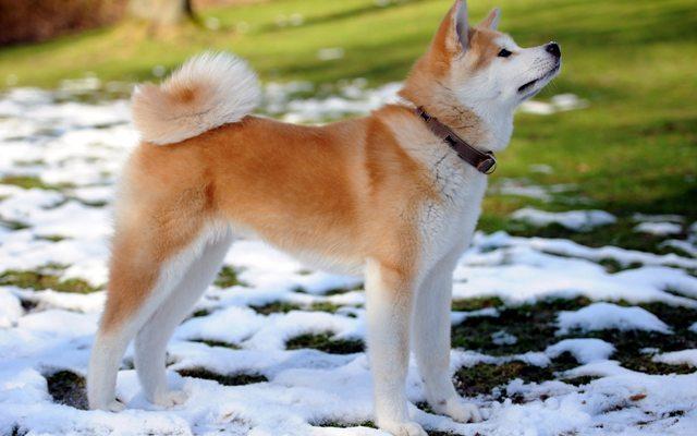 Порода собак Акита-Ину породный стандарт