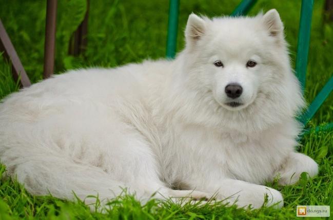 Породы собак Самоед