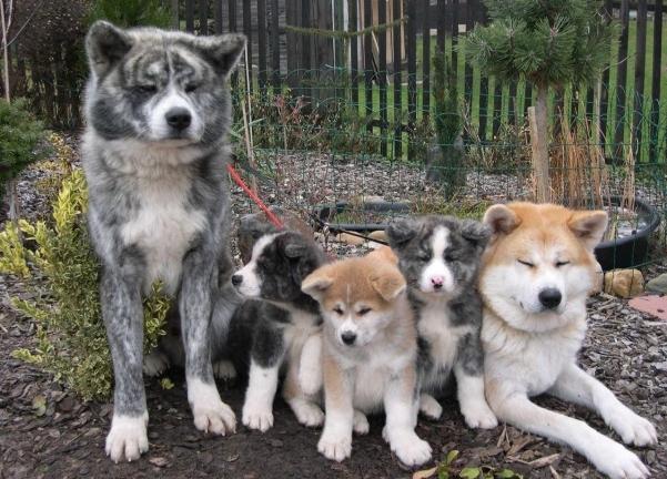 Порода собак Акита-Ину особенности породы