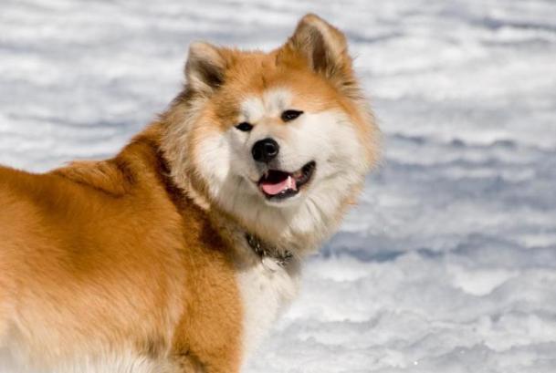 Порода собак Акита-Ину длинношерстный вид