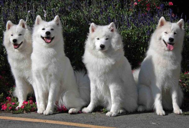 Порода собак Самоед Описание породы, характеристики
