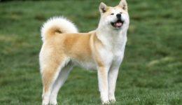 Порода собак Акита-Ину с фото, описание, содержанием, отзывами, видео