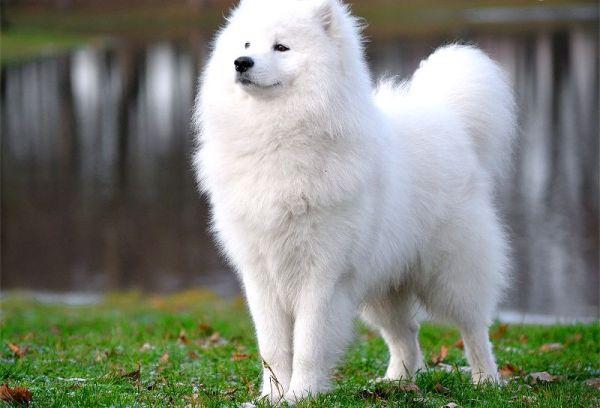 Порода собак Самоед историческая справка