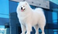 Порода собак Самоед с фото, описание, характеристика,характер, содержание, уход, цена