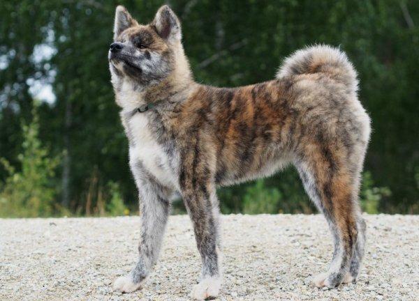 Порода собак Акита-Ину Тигровый вид