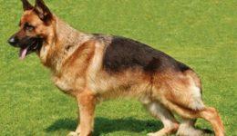 Немецкая овчарка – описание породы. Содержание, выбор щенка
