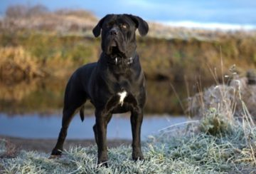 Порода собак Кане Корсо - описание с фото. Содержание, уход