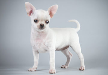 Порода собак Чихуахуа с фото. Описание, уход, цена, отзывы