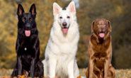 Самые умные породы собак с фото. Ротвейлер, пудель, шелти и др.
