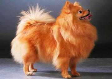 Порода собак Шпиц. Описание породы с фото, уход, кормление, цена