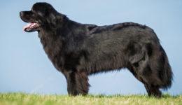 Порода собак Ньюфаундленд. Описание породы. Дрессура. Цена