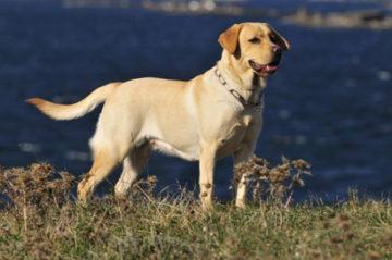 Лабрадор – описание породы собак с фото. Содержание и уход, цена