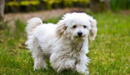 Порода собак Бишон фризе. Содержание, уход, выбор щенка, отзывы