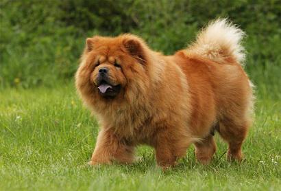 Порода собак Чау-Чау. Описание, разновидности, содержание и уход