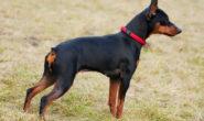 Порода собак Пинчер. Разновидности с фото. Содержание и уход