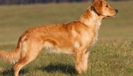 Золотистый ретривер – описание породы. Разновидности с фото
