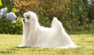 Порода собак Болонка. Виды Болонок. Содержание, уход