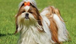 Порода собак ши-тцу описание породы. Разновидности, уход, отзывы