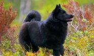 Порода собак шипперке. Содержание и уход, кормление, щенки