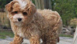 Мальтипу порода собак с фото, описанием, хпрактеристика, цена, видео